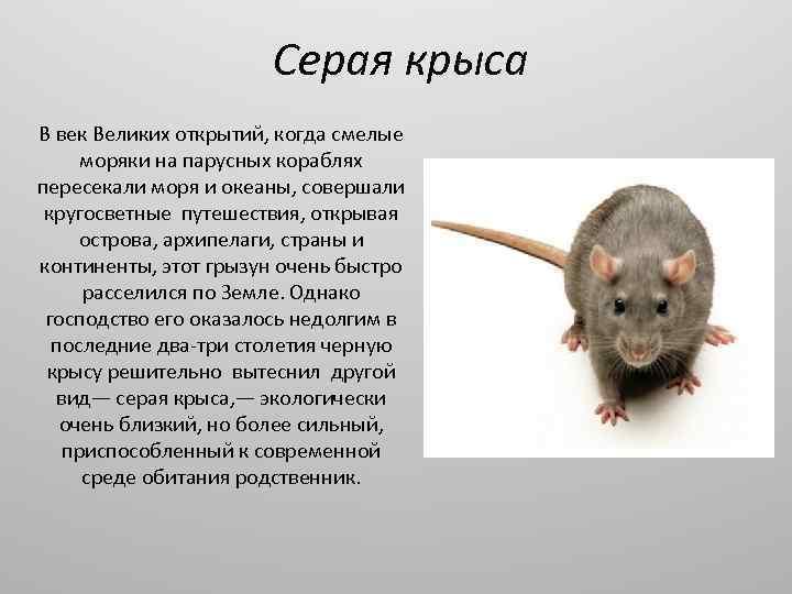 Белая крыса (32 фото): сколько живут декоративные домашние крысы-альбиносы с красными глазами? что они едят? правила ухода за ними в домашних условиях