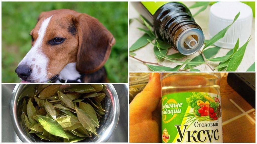 Что делать, если мухи грызут уши у собаки, чем обработать