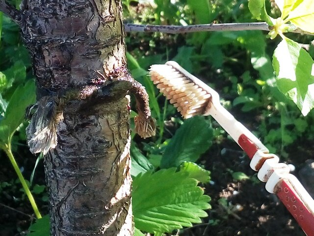 Применение березового дегтя против вредителей в саду   огородники