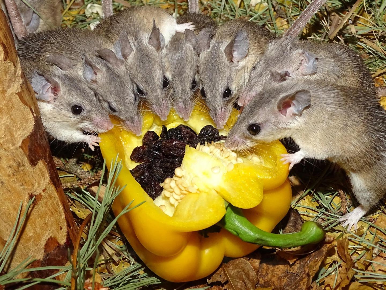 Чем питаются декоративные мыши в домашних условиях: что любят есть больше всего