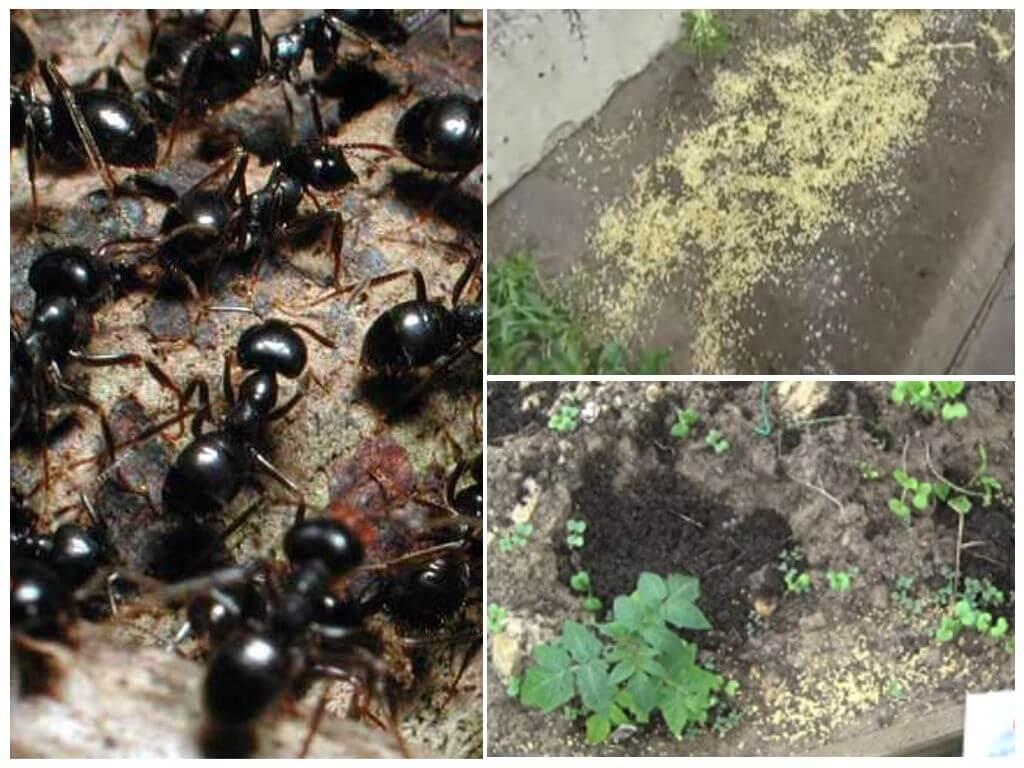 Борьба с муравьями в квартире народными средствами — всё от а до я русский фермер