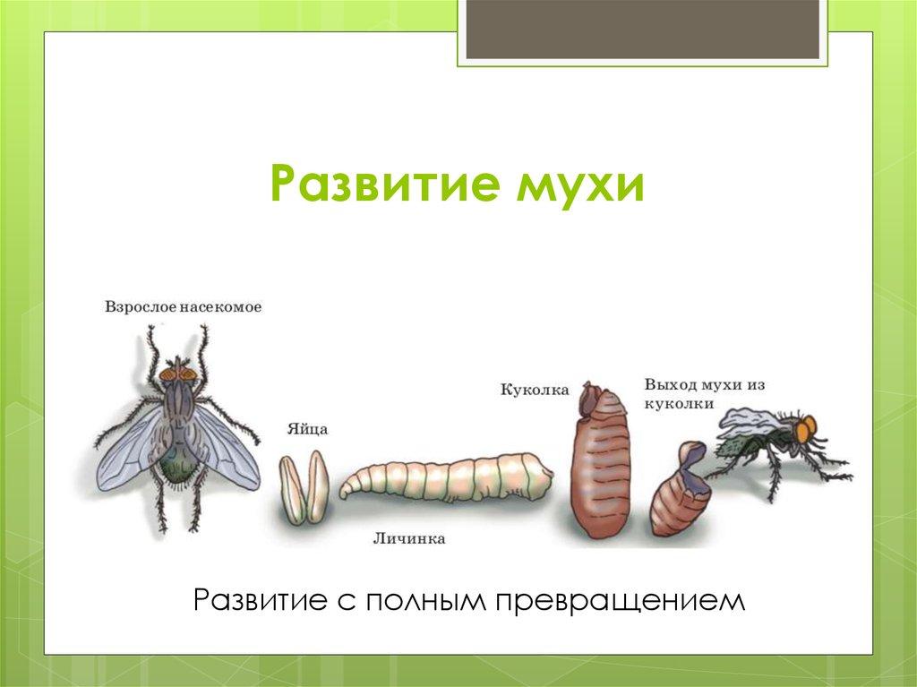 Как размножаются мухи – читайте!
