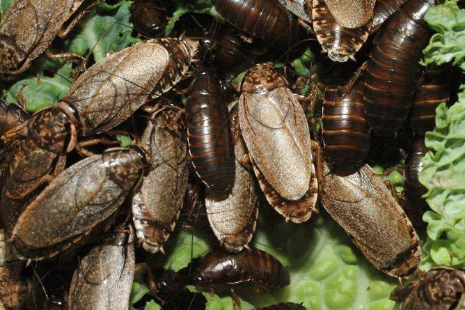 Разведение тараканов. мраморные тараканы — как разводить правильно. температура, влажность, свет