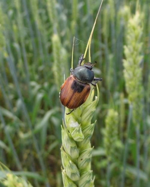 Хлебный жук кузька — угроза урожаю зерновых культур