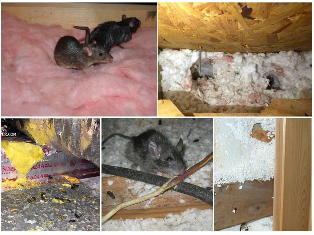 Эковата и мыши: едят и живут ли в утеплителе грызуны