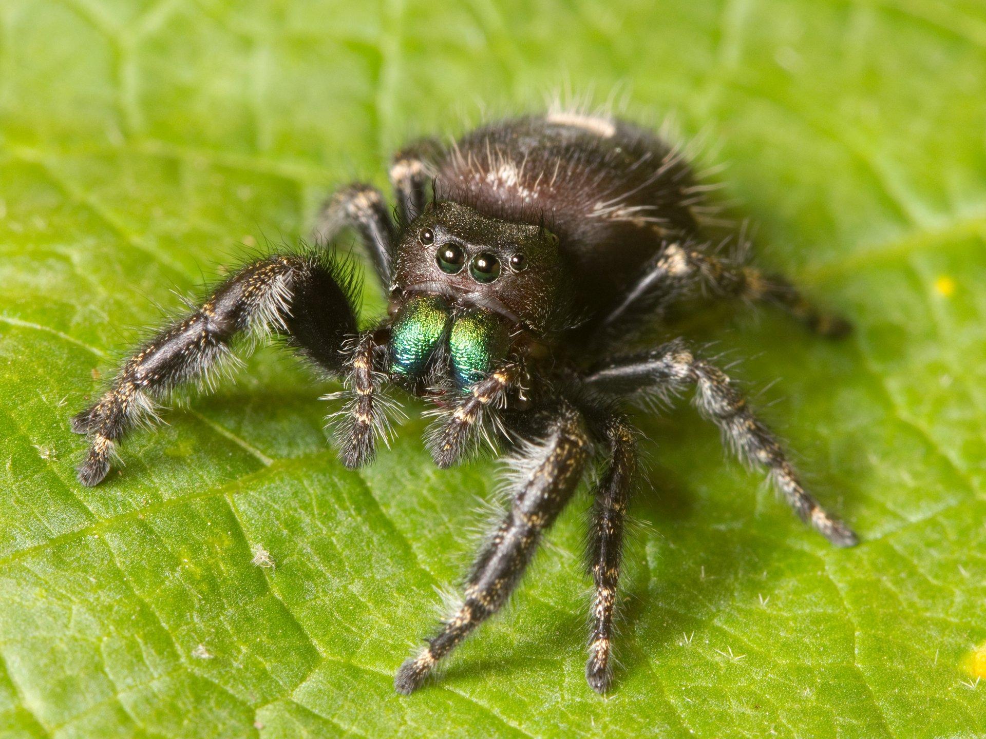 Как далеко прыгает паук скакун, почему он хорошо видит?