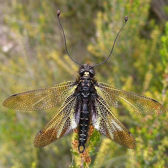 Аскалаф пестрый – крылатый хищник на лесных опушках