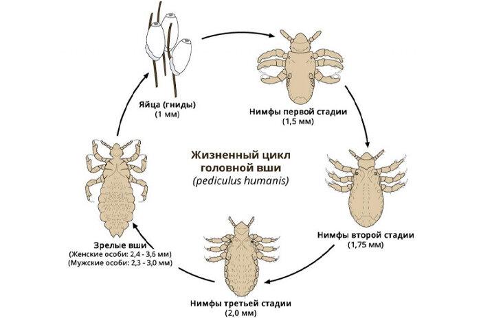 Что применить для борьбы с паразитами на голове: чего боятся вши и гниды?