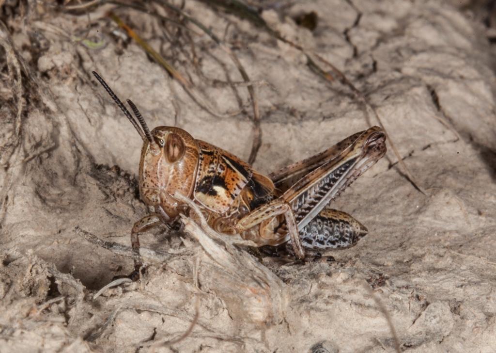 Марокканская саранча – прожорливая «казнь египетская»