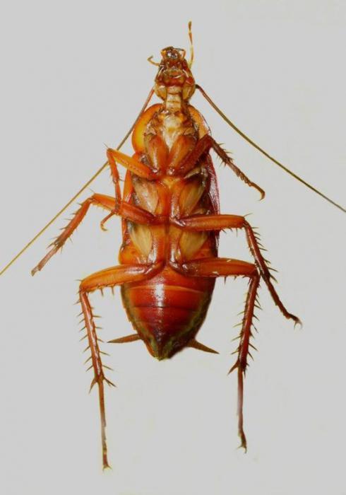 Появились большие черные тараканы в квартире: фото, строение, откуда берутся, как избавиться