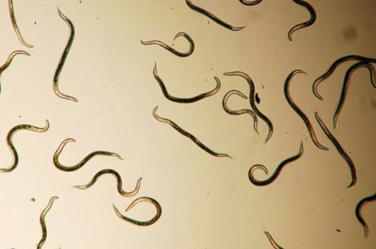 Галловые нематоды: как бороться с вредителем, профилактика   огородники