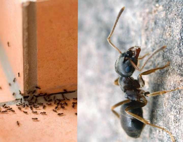 Откуда берутся рыжие муравьи в квартире и как от них избавиться