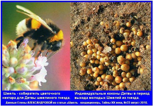 Отличия шмеля и пчелы в интенсивности укуса и последствиях атаки
