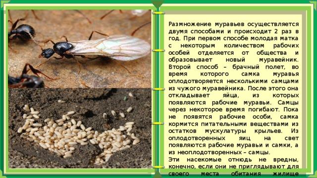 Как размножаются и развиваются муравьи: продолжительность жизни и особенности строения самца и самки муравья русский фермер