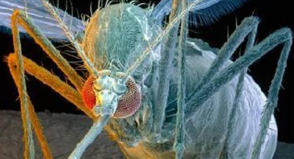 Комар под микроскопом - фото и описание