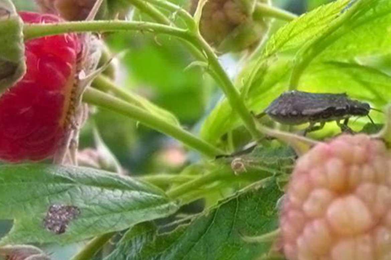 Малиновый клоп на смородине и малине: как с ними бороться, вред и польза