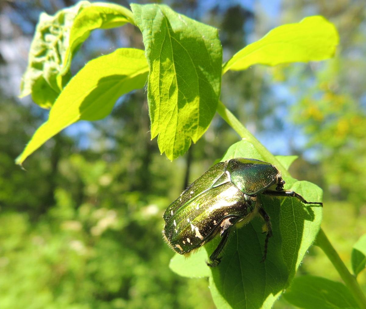 Бронзовка золотистая — описание, вред зеленого блестящего жука для растений и методы борьбы с насекомым
