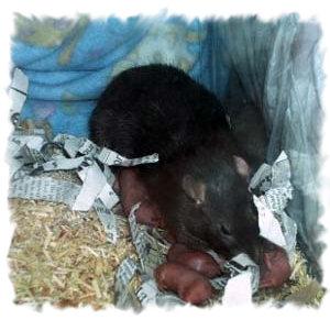 Беременность и роды у морских свинок: признаки, сроки,правила ухода за беременной и родившей самкой