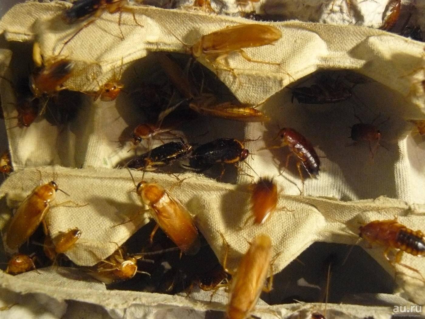 Кто ест тараканов (питается ими), естественные враги домашних паразитов