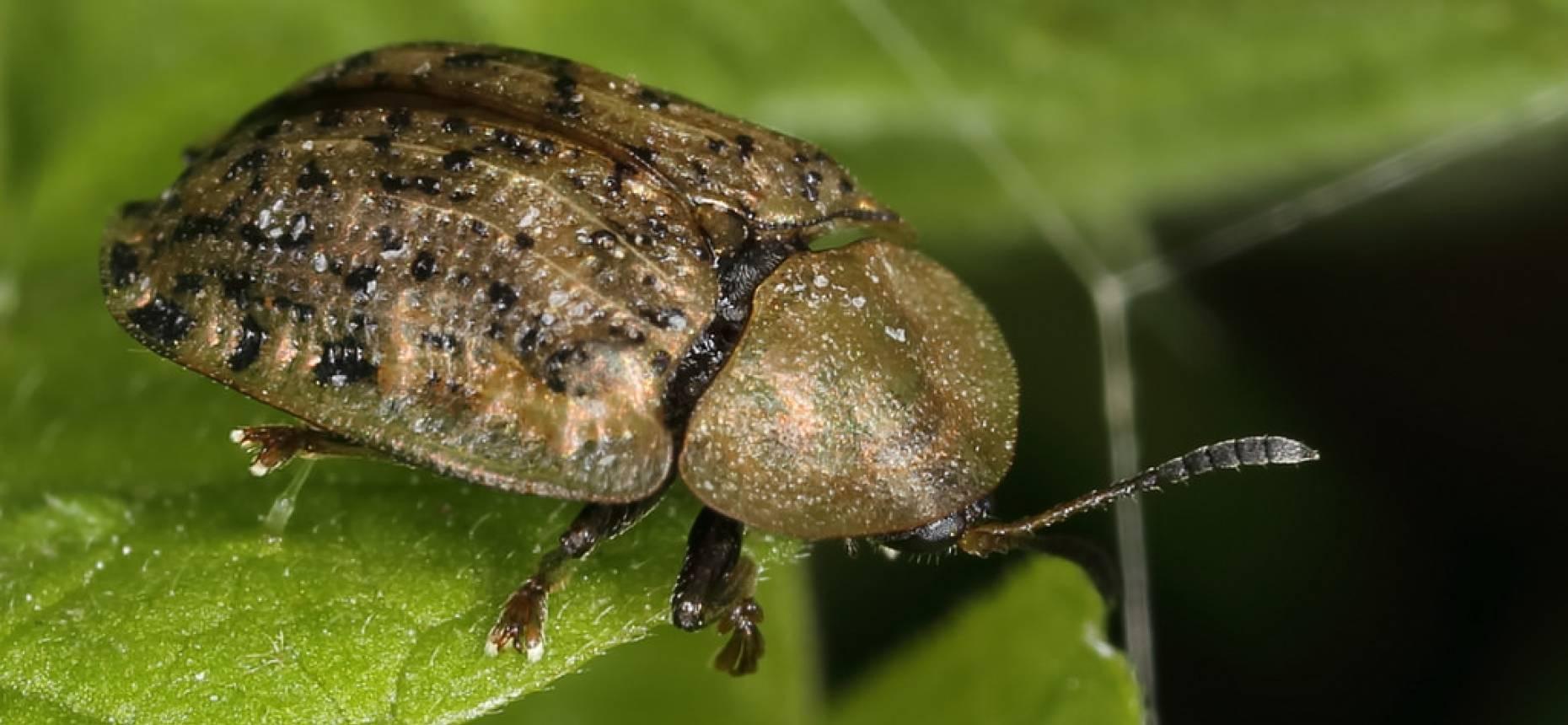 Свекловичная нематода – подземная угроза урожая свеклы