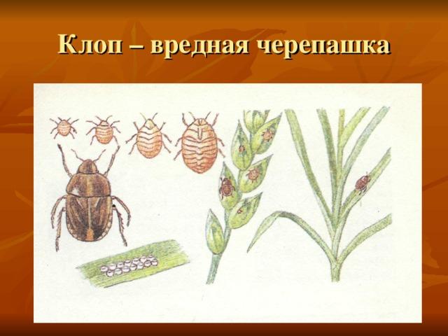 Клоп черепашка: описание и возможный ущерб от насекомого