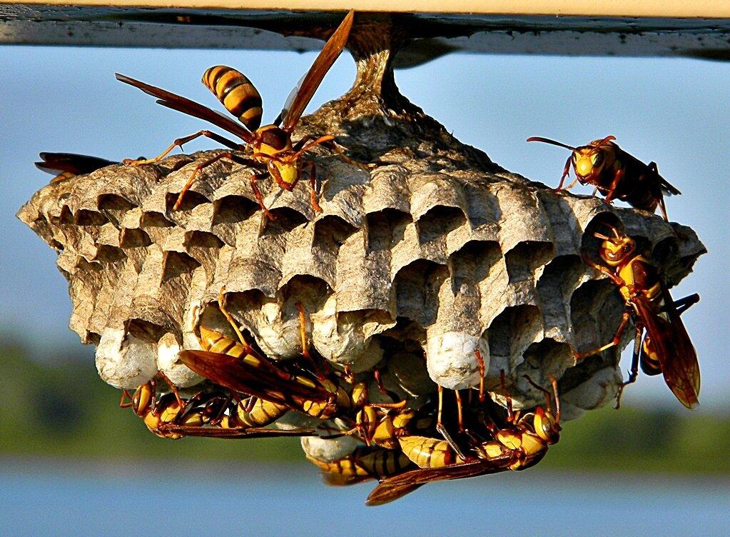Зимовье осы