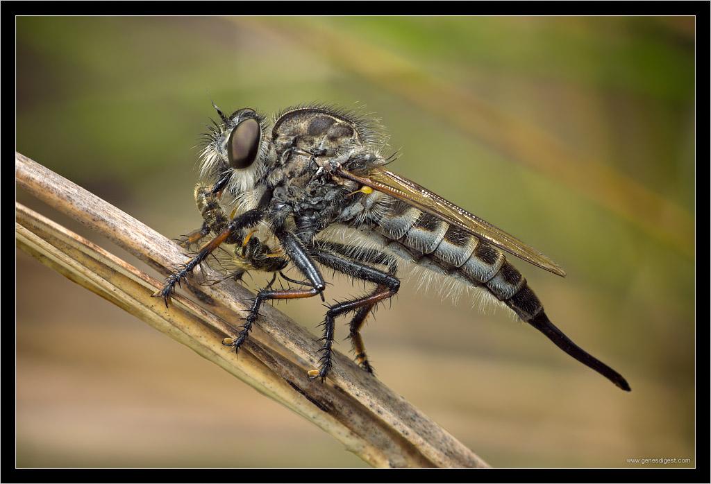 Рейтинг самых больших мух в мире: hippobosca equina, ктырь, бульдожья, gauromydas heros и бычий слепень