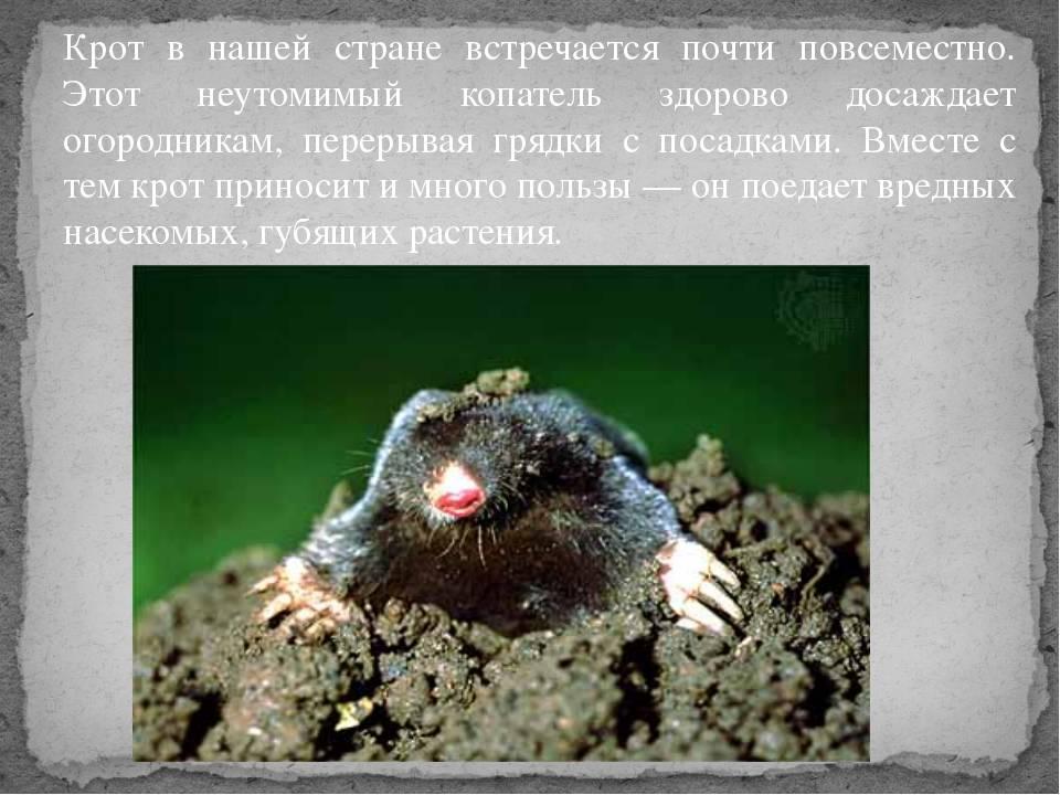 Слепыш животное. описание, особенности, виды, образ жизни и среда обитания слепыша | живность.ру