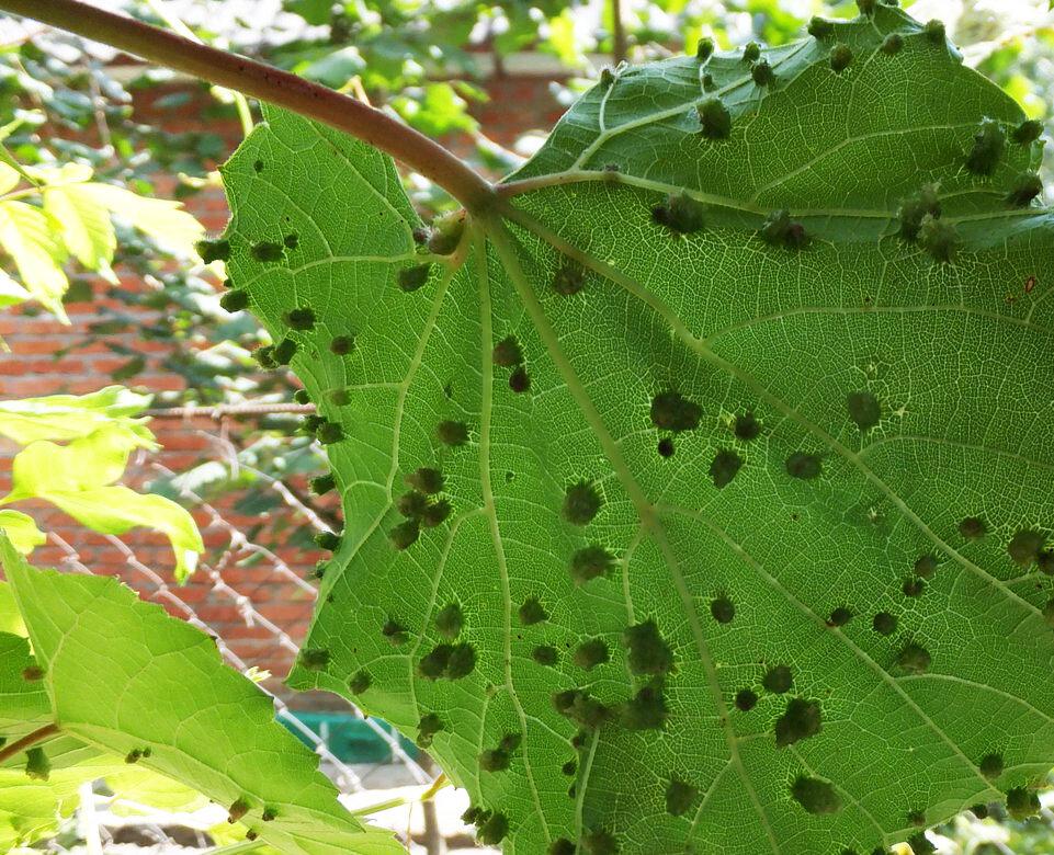 Как бороться с тлей на винограде: препараты и народные средства - про сорта