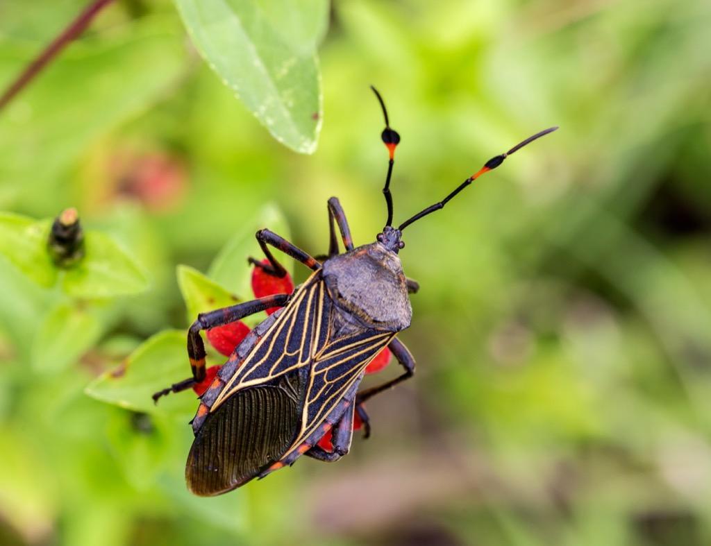 Триатомовые клопы – насекомые, убивающие поцелуем