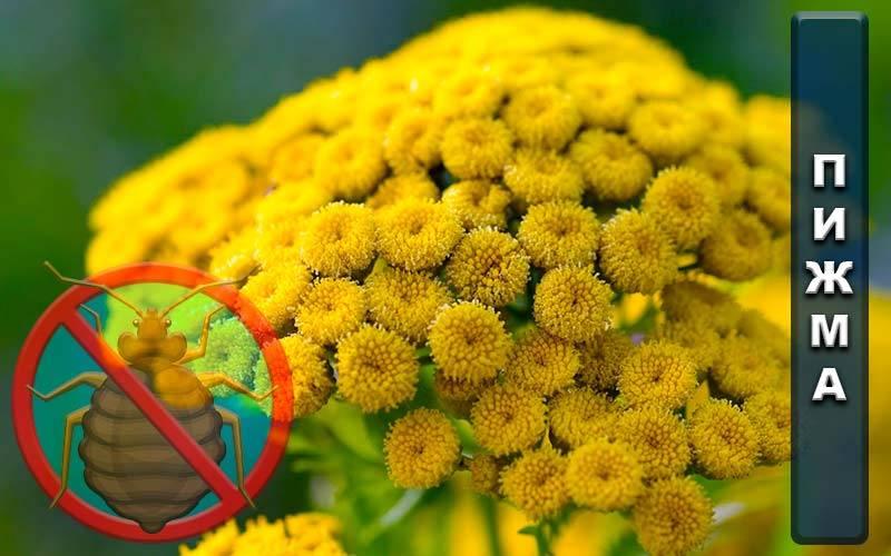 Пижма от клопов: применение растения вместо химии