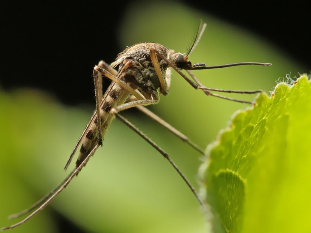 Сонник комары