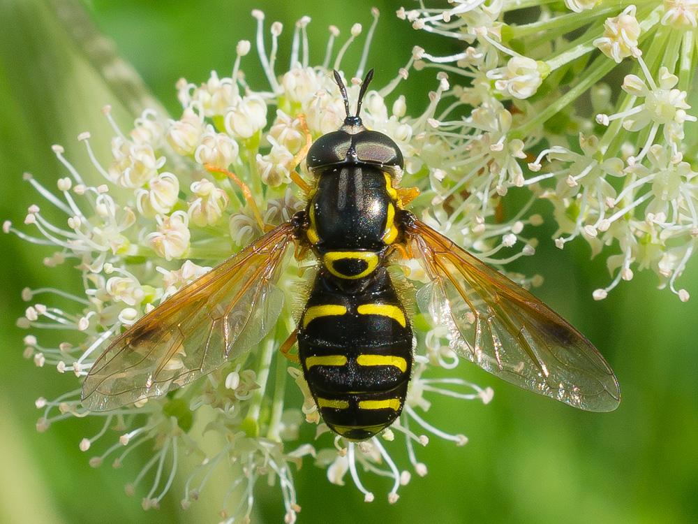 Описание и фото навозной мухи
