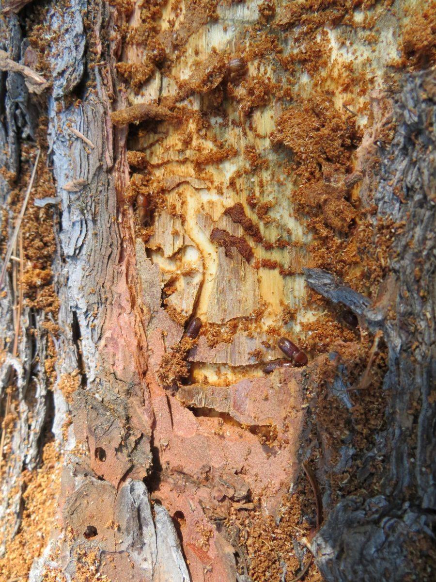 Заболонники березовый, плодовый, дубовый: описание и фото selo.guru — интернет портал о сельском хозяйстве