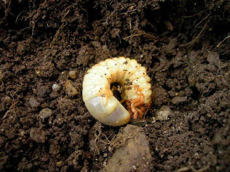 Чем отличаются личинки медведки и майского жука, фото примеры