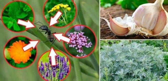 20 способов избавиться от муравьев народными средствами: табачная пыль, аммиачная селитра и другие методы