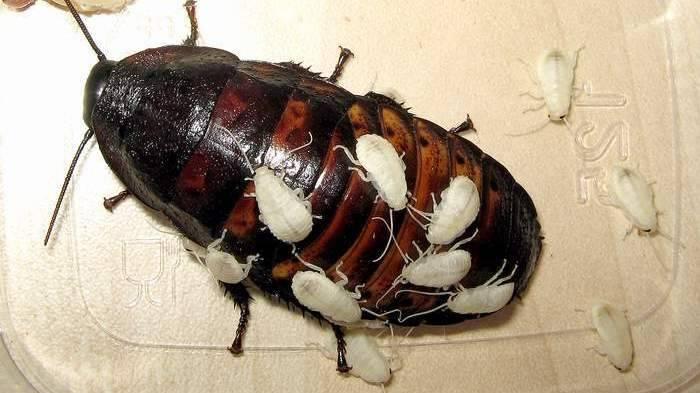 Как быстро размножаются тараканы