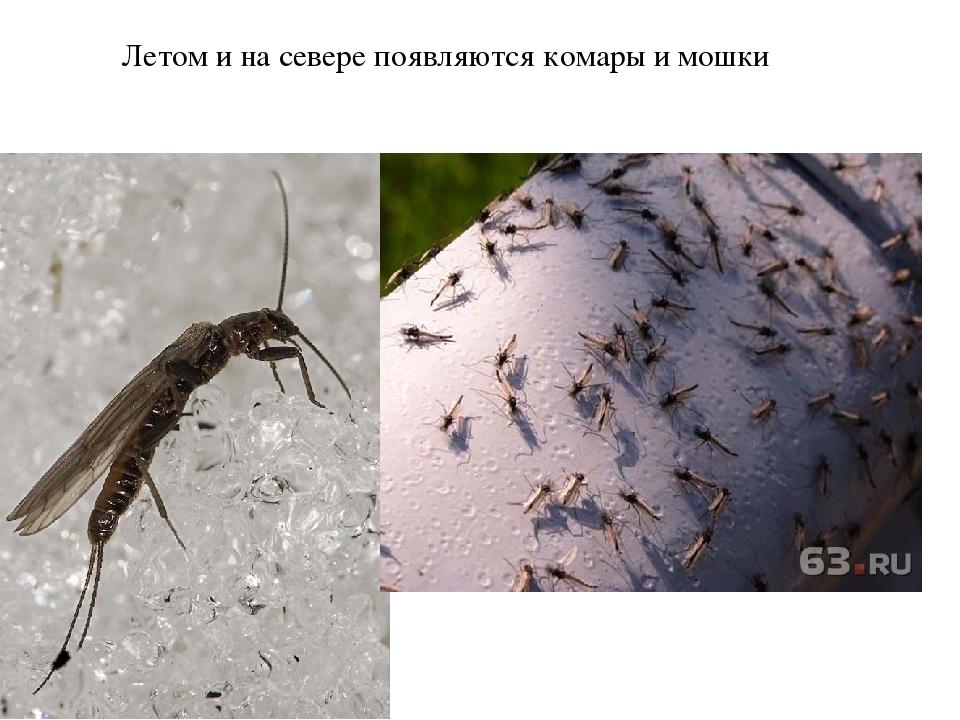 Куда деваются зимой комары, где живут, как зимуют