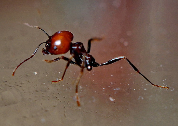 Спят ли муравьи? чем питаются? как выглядит матка муравья? особенности зимовки