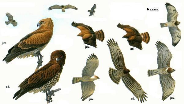 Ястреб: описание птицы, среда обитания, сколько живет