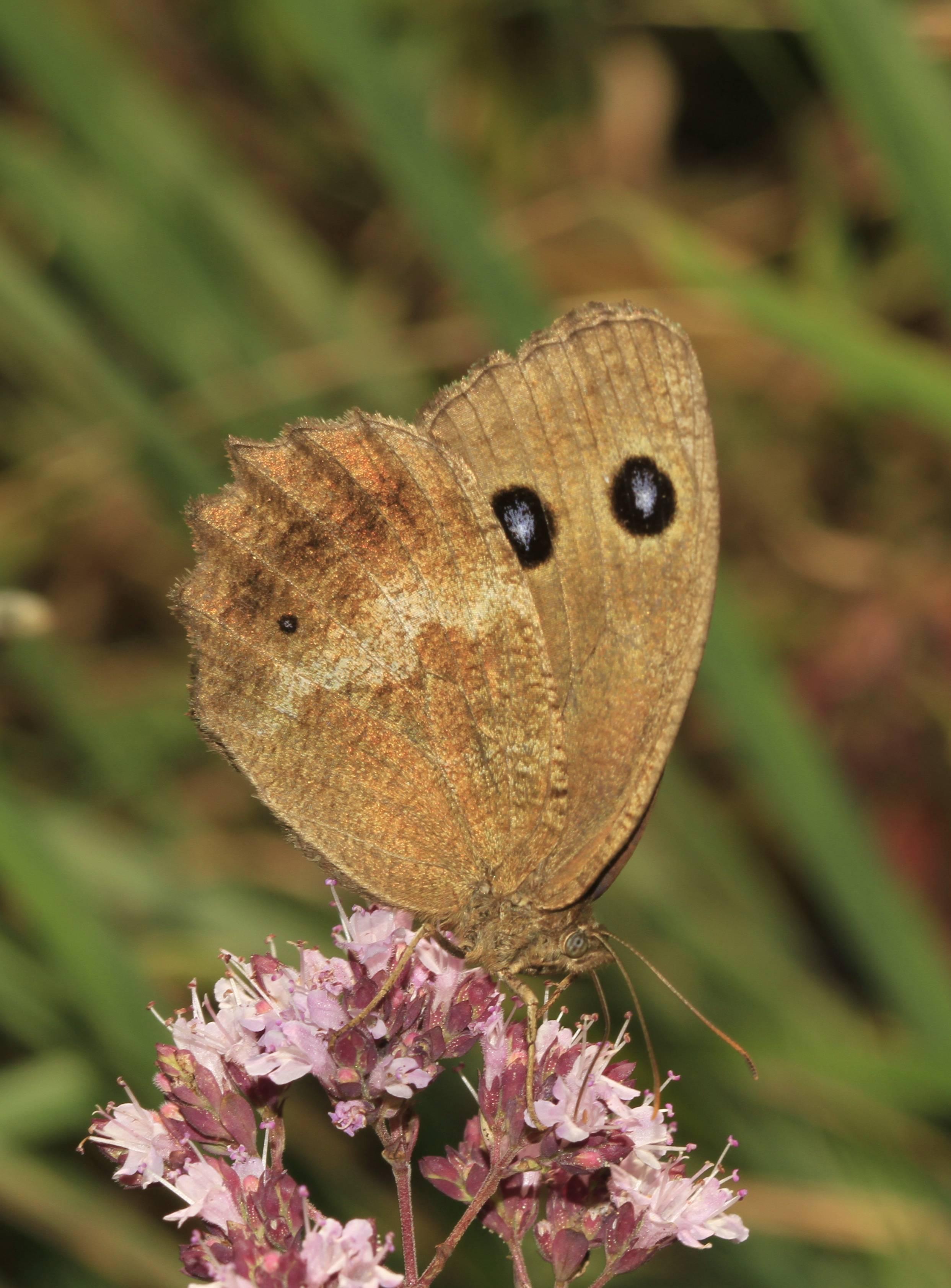 Бабочка бархатница — описание, среда обитания, виды