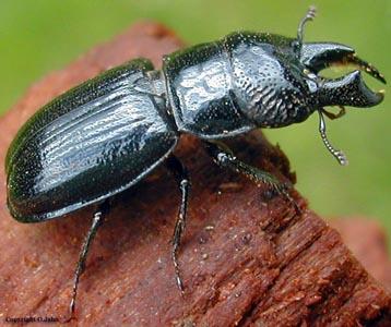 Рогачик скромный — образ жизни лесного жука, причины сокращения численности насекомых