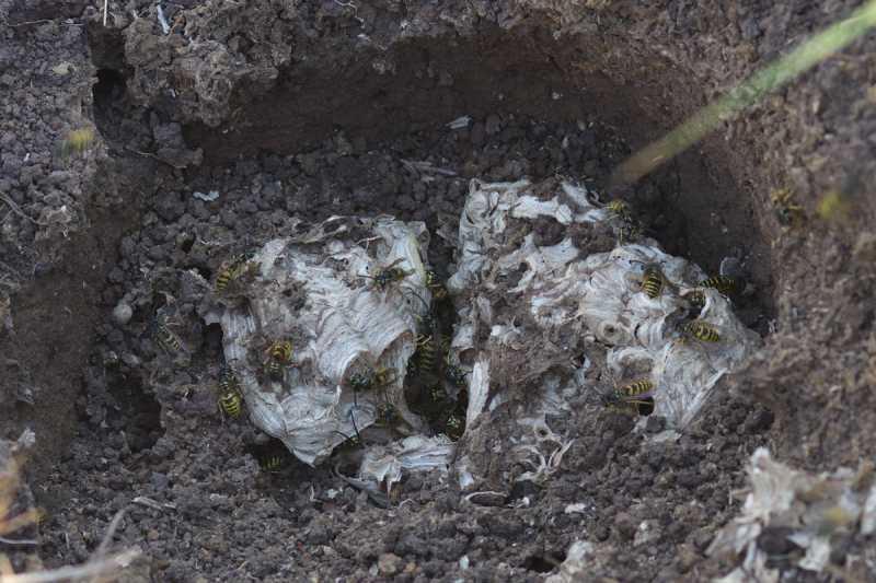 Земляные осы: разъясняем детально