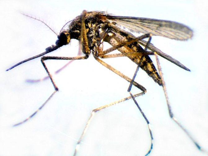 Есть ли в сочи комары и мошки