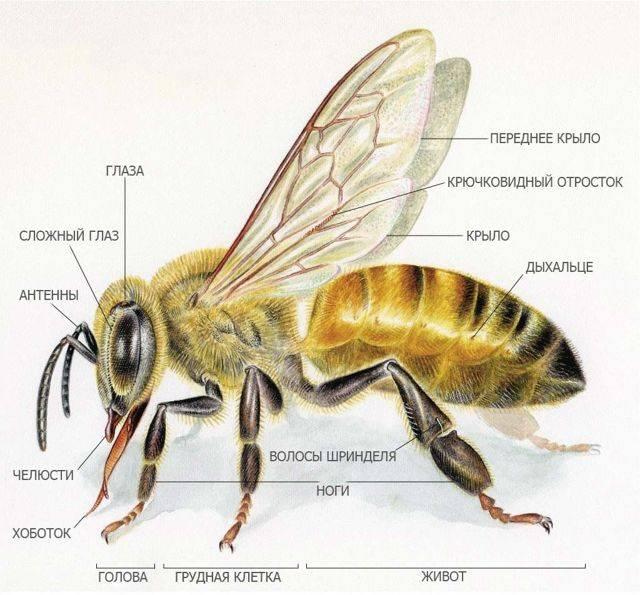 Описание медоносной пчелы