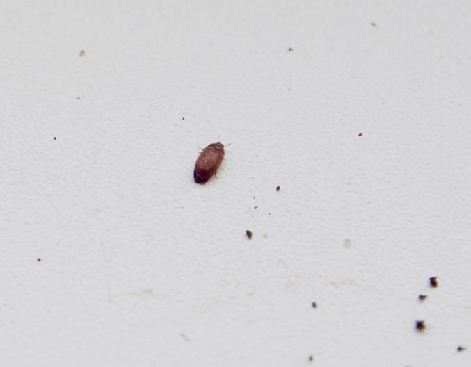 Маленькие коричневые жучки в квартире: как от них избавиться? - идеи для жизни - медиаплатформа миртесен