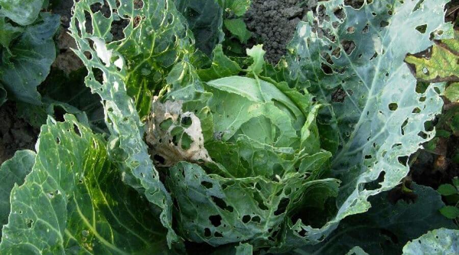 Как избавиться от капустной моли: народные рецепты и химические средства