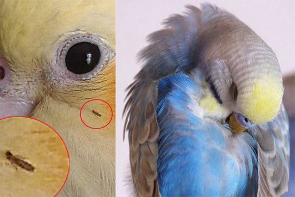 Блохи у волнистых попугаев: симптомы, лечение и рекомендации
