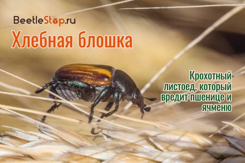 Блошки хлебные   справочник пестициды.ru