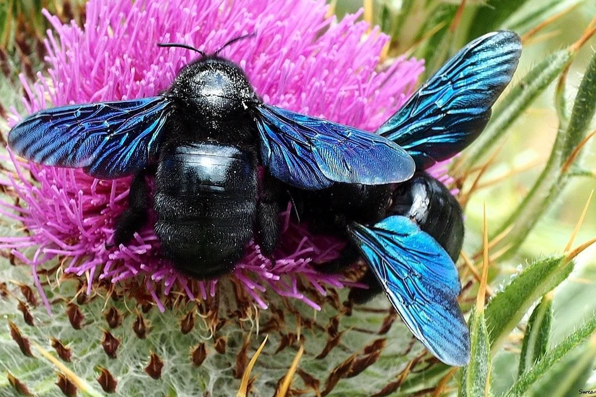 Пчела-плотник фиолетовая википедия